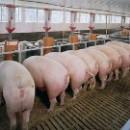 Беларуссы не хотят свинину из Кировоградской области