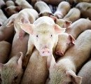Рынок мяса свинины ожидает нового производителя
