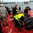 Зрелище не для слабонервных: на Фарерах начался массовый забой китов (видео)
