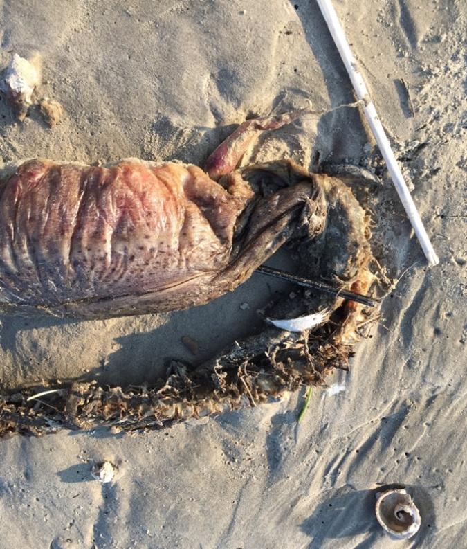 На пляже в Техасе нашли неизвестное животное (фото)