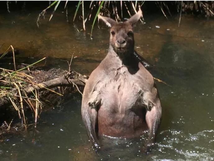 Сеть обсуждает кенгуру, который похож на Путина