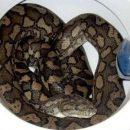 Змея, спускавшая воду в унитаз, испугала австралийскую семью