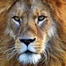 Сеть в восторге от ловкой гиены, обманувшей львов