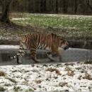 Сеть в восторге от тигра, которого «подвел» хрупкий лед