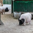 В селе под Николаевом свиньи съели пенсионера