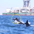 Голодные касатки разорвали дельфина на глазах у исследователей (видео)