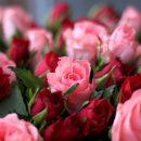 Саженцы роз по доступным ценам от MegaSad