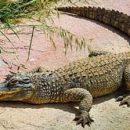 Нестандартно для Украины: на Одесчине из «хрущевки» выпал крокодил