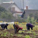 Копание картошки: НБУ выпустит монету, посвященную украинским огородникам