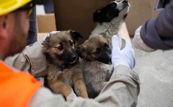 Около 200 бездомных щенков с территории ЧАЭС отправят в США: опубликованы фото