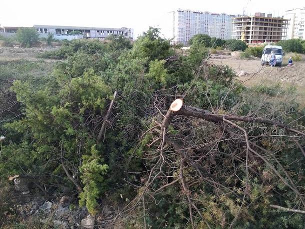 Уничтожают все живое: в сети появились фото новой вырубки краснокнижных деревьев в Крыму
