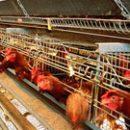 Украина и Китай будут развивать взаимную торговлю мясом птицы