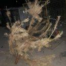 Курьез дня: Украинец в середине июня выбросил новогоднюю елку