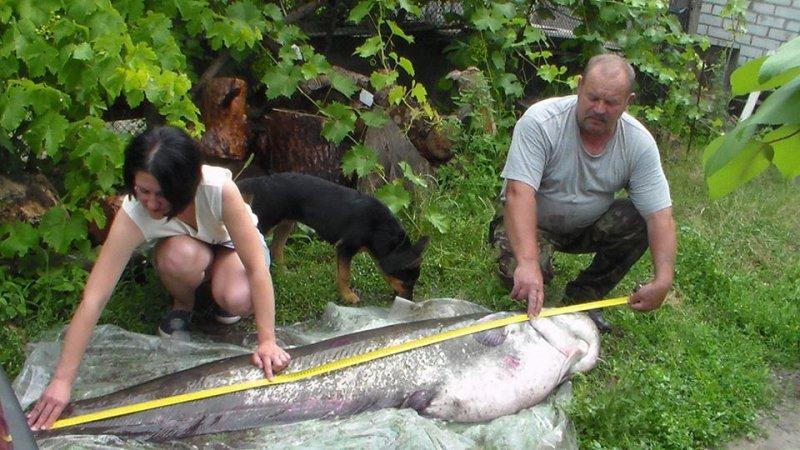 На Днепре поймали двухметровую гигантскую рыбу