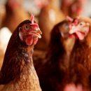 Крупнейший производитель курятины в Украине сократил продажи