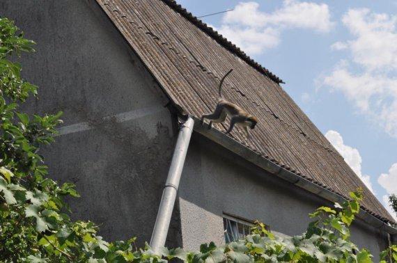 Стая обезьян оккупировали дачный поселок под Одессой