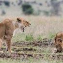 Отважная львица хитростью спасла своего детеныша от стаи гиен