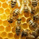 Почему в Украине гибнут пчелы