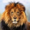 В крымском сафари-парке лев забрался в автомобиль к туристам (видео)