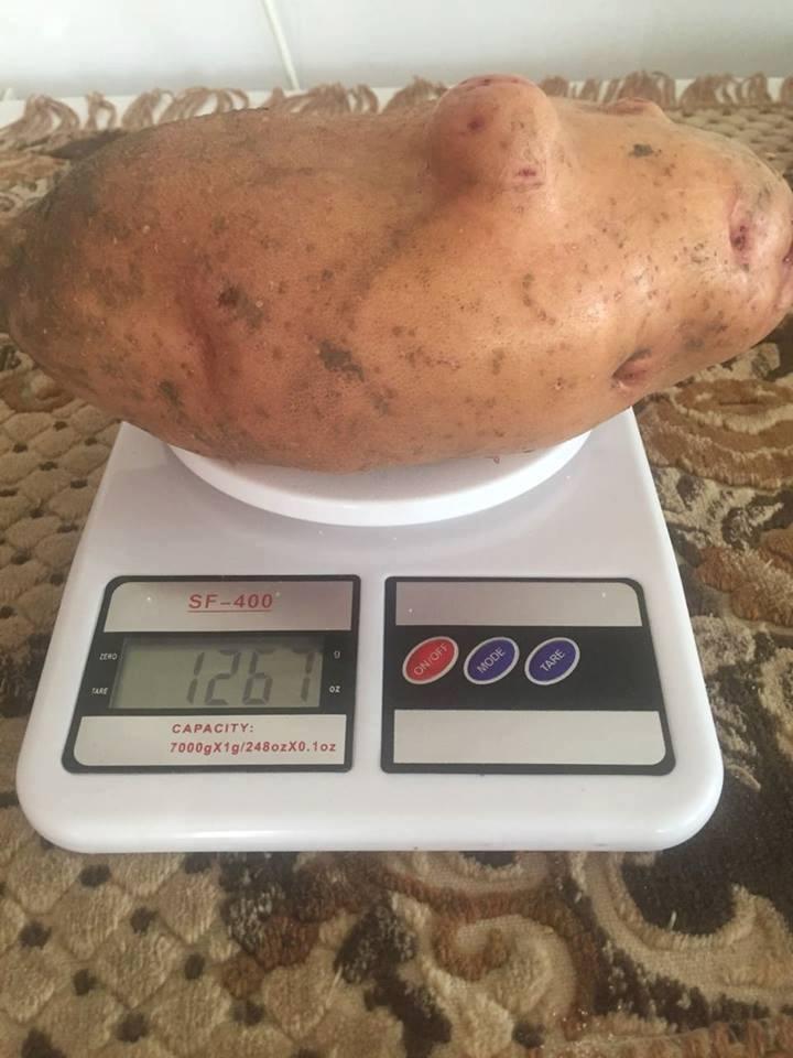 Селяни виростили врожай гігантської картоплі: Вага однієї — понад 1,2 кілограма