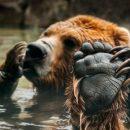 Когти медведя в сравнении с рукой человека (фото)