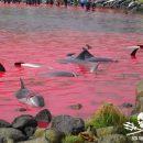 В Сети показали бойню дельфинов на Фарерах (видео)