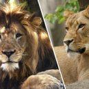 В зоопарке США львица загрызла отца своих детенышей