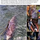 Смертельні відходи: у шлунку загиблого кита знайшли 40 кг пластику