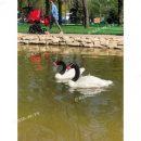 В пруд в Запорожской области выпустили пару черношейных лебедей (Фото)