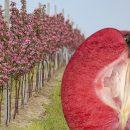 Яблуко з червоною м'якоттю стає світовим трендом