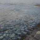 Аномалия с медузами: В Азовском море из-за Крымского моста произошла природная катастрофа (видео)