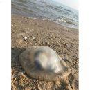 Отдых испорчен: сотни медуз погибли на курортах Азовского моря (фото)