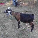У кого копыта стройнее: на Днепропетровщине провели конкурс красоты среди коз