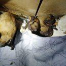 В Киеве в квартиру залетели 120 летучих мышей