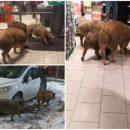 У Росії три свині увірвалися до магазину і спустошили алкогольний прилавок