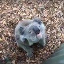 Сеть насмешила коала, которая выругалась на человека (видео)