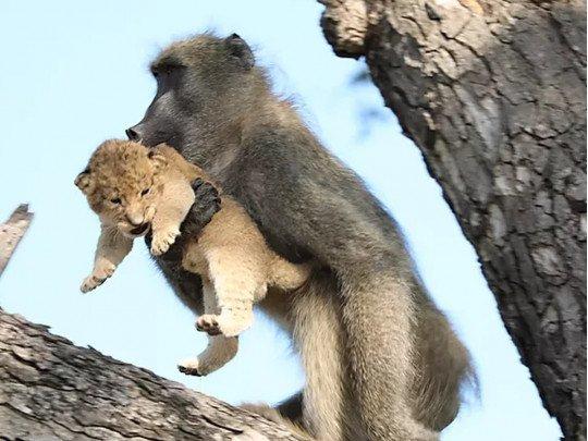 Бабуин «усыновил» львенка и воспроизвел сцену из мультфильма «Король-лев» (фото, видео)