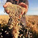 Зерно — головний сільськогосподарський товар